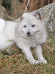 artic fox laying down