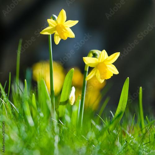 Aluminium Narcis Osterglocken, Frohe Ostern, Frühlingsblumen, Frühjahr