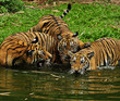 three cute  tiger cubs swimming in river