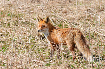 Red Fox Vulpes vulpes is standing in abandoned meadow
