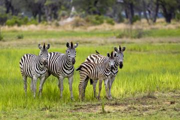 Zebra Gruppe