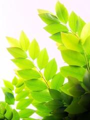 Leaves of asian star gooseberry