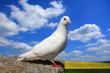 Single white rock dove perched on a ledge overlooking farmland