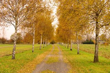 Birkenallee - birch tree avenue 01