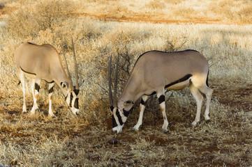 northern gemsboks