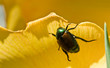 Japanese Beetle, Popillia japonica Clinging Yellow Flower Petal