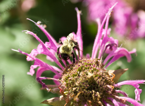 Bumble Bee Bombus Pollinating Pink Bee Balm Flower Genus Monarda