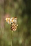 papillon, melitée du plantain poster
