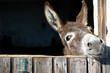 Leinwanddruck Bild - Funny Donkey