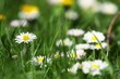 Daisies in a field, macro