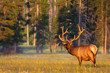 Elk With Velvet Antlers in Golden Light