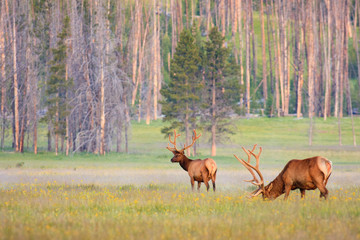 Two Bull Elk in Meadow of Wild Flowers