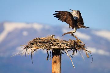 Osprey Pair Building Nest
