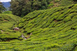 Tea plattation in the Cameron Highlands