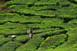 Tea platation in the Cameron Highlands