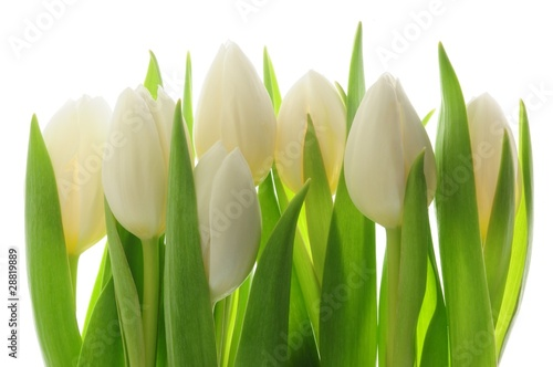 Foto op Canvas Tulp Tulips
