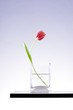 Single red tulip in a vase