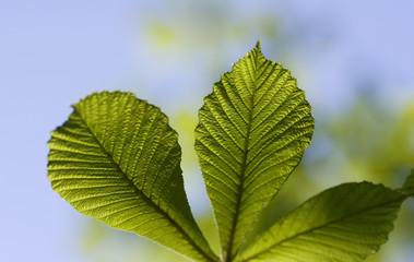 Chestnut leafs