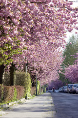Street with cherrry trees