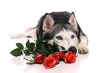 Hund Husky und Rosen