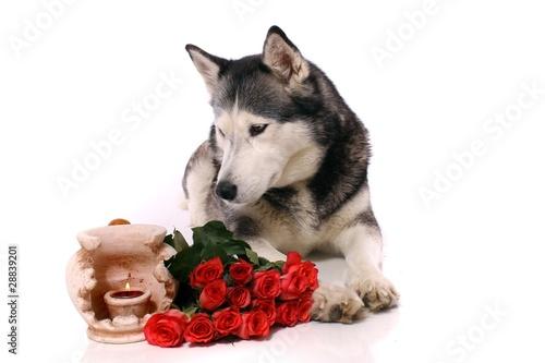 Staande foto Struisvogel Hund Husky mit Kerze und Rosen