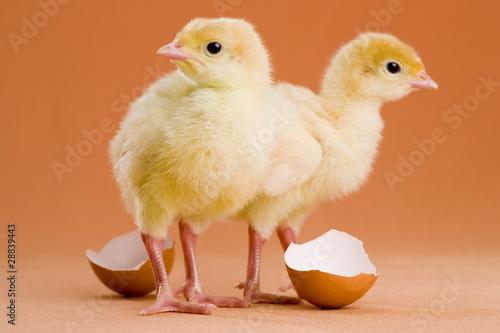 Ostern Küken witzig frisch geboren