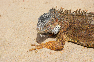 Portrait of a Iguana on a sandy background