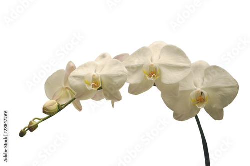 canvas print picture White orchid on white.