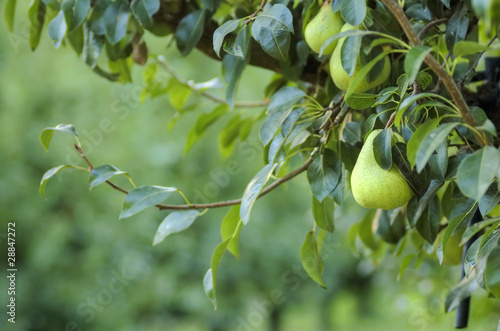 canvas print picture pears on a tree