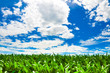Corn field under a vivid blue sky