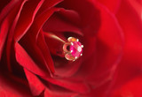 Ring with ruby in red rose