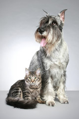 Dog of breed  mittel schnauzer with a small kitten
