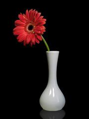 Red gerbera flower in a white vase