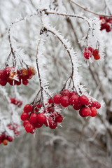 Rote Beeren im Winter