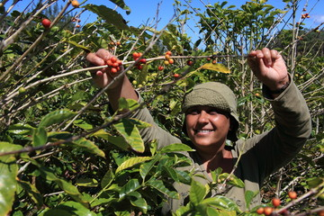 Smiling woman picking coffee beans on a sunny day