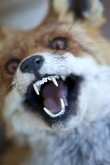 Renard animal fourrure malin chasse croc sauvage forêt