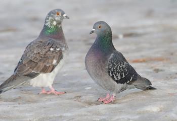 stolze Tauben auf Eisboden