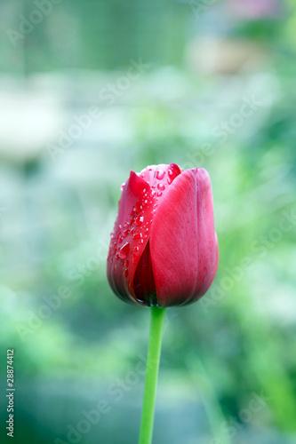 rote Tulpe mit Wassertropfen auf den Blütenblättern