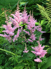Pink apical buds astilby (Astilbe)