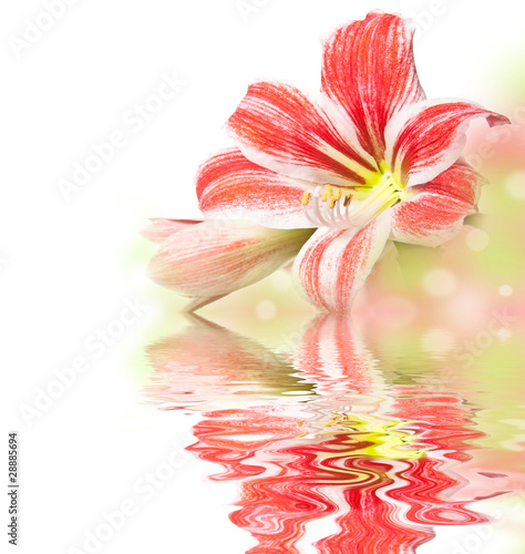 red amaryllis and water
