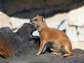 Yellow mongoose sitting on tree stump