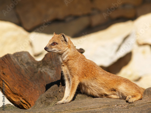 Yellow mongoose on sentry