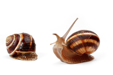 two funny  garden snails ,isolated on white