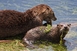 River Otters Covered in Aquatic Plants