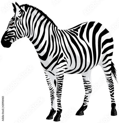 Zebra. Ilustracji wektorowych.