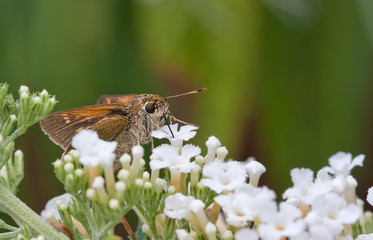 Silver-Spotted Skipper Butterfly Sucking Nectar