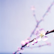 Spring greetings with peach blossoms