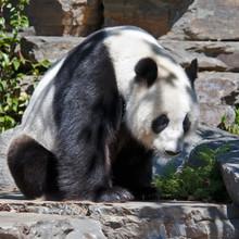 Panda facing left