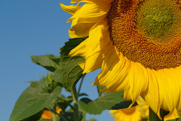 Sunflower detail