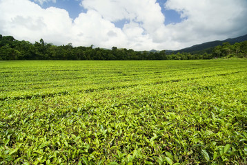 Teeplantage in Queensland, Australien